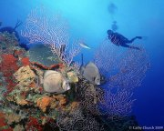 Grey Angels on Sunset Reef