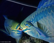 Parrotfish Reflection by Herb Rafael