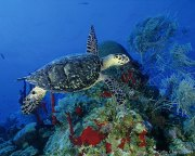 Turtle with Red Sponges