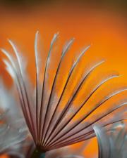 Sunset Featherduster
